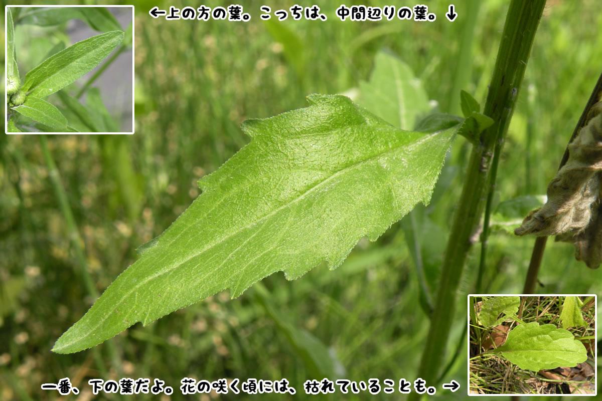 ヒメジョオンの画像 p1_10